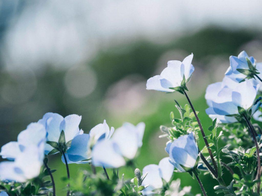 niebieskie kwiaty